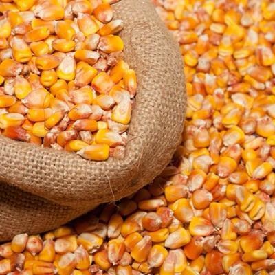 云南省昆明市五华区玉米干粮 净货 水份14%-16%
