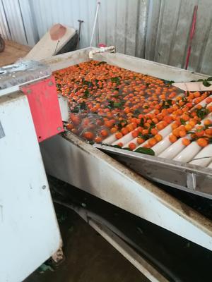 这是一张关于沙糖桔 统货 1.5 - 2两 的产品图片