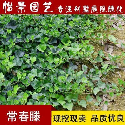 湖南省长沙市浏阳市青叶常青藤  庭院小苗爬藤植物