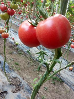 山东省潍坊市安丘市硬粉番茄 通货 弧二以上 硬粉