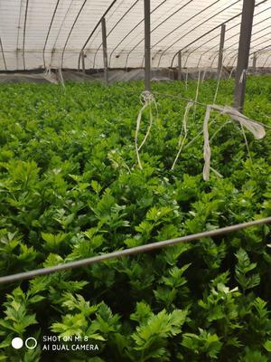 河南省郑州市中牟县西芹 45~50cm 0.5~1.0斤 大棚种植