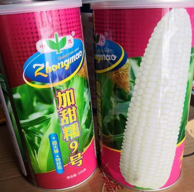 河南省南阳市卧龙区甜糯玉米种子  三交种 ≥85% 加甜糯9号500g