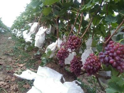 山东省烟台市龙口市美国红提 1-1.5斤 5%以下 1次果