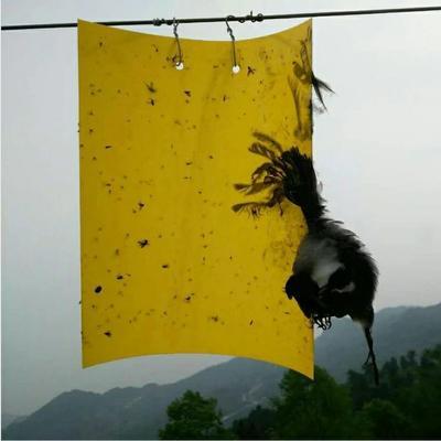 山东省潍坊市寿光市种植大棚  强力粘虫板 诱虫板
