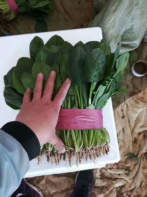 河北省邯郸市丛台区大叶菠菜 10~15cm