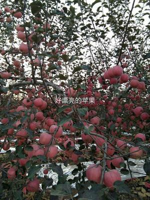 陕西省宝鸡市扶风县红富士苹果 75mm以下 片红 纸袋