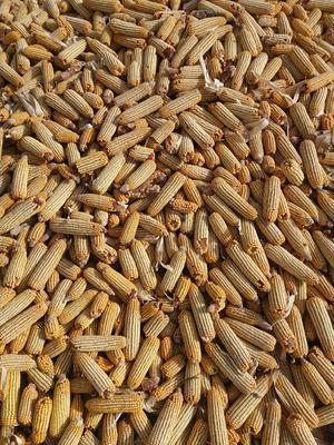 甘肃省白银市靖远县玉米干粮 净货 水份14%-16%