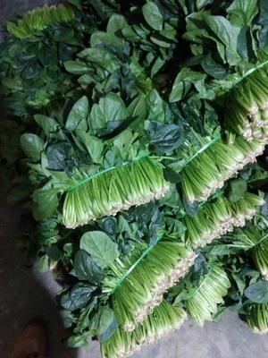 四川省德阳市广汉市黑叶菠菜 15~20cm