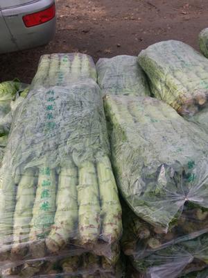 河北省唐山市滦南县青皮尖叶莴苣 2斤以上 50-60cm