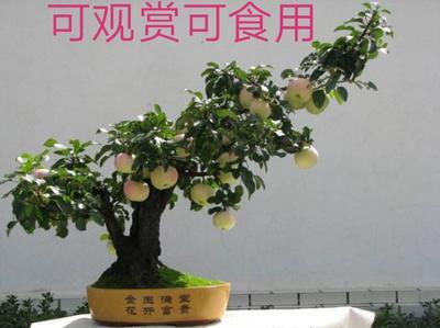 山东省临沂市平邑县果树盆景 盆栽苹果