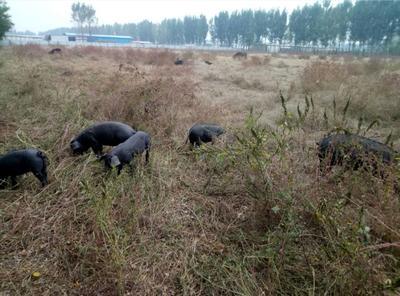 河北省邢台市沙河市生态野猪 统货 160斤以上