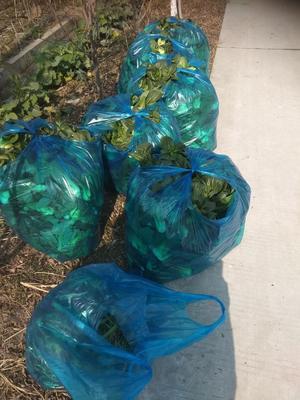 这是一张关于大叶菠菜 25~30cm 的产品图片