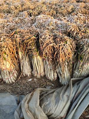 山东省枣庄市滕州市铁杆大葱 混装通货 毛葱