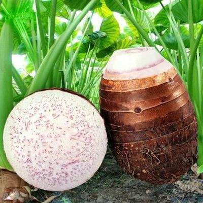 湖南省永州市江永县江永香芋 5cm以上 槟榔芋全国一件代发