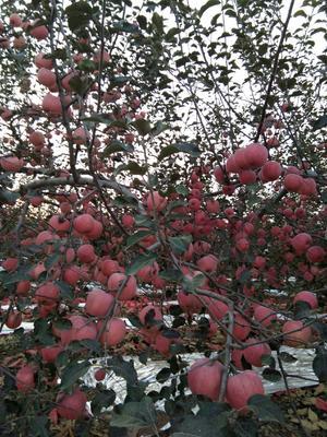 陕西省宝鸡市扶风县红富士苹果 75mm以下 片红 膜袋