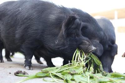贵州省六盘水市六枝特区藏香猪 140斤以上
