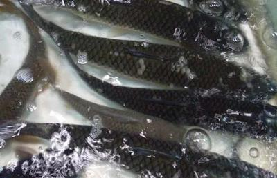 湖北省仙桃市仙桃市池塘草鱼 人工养殖 0.5-3公斤