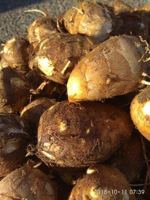 山东省青岛市莱西市芋头8520 3cm以上