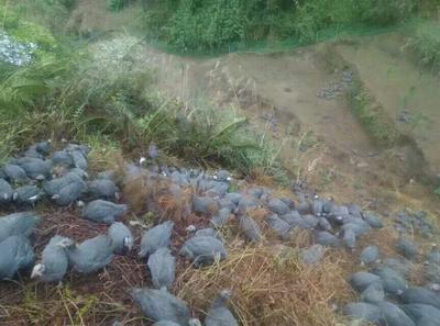 广西壮族自治区河池市宜州市灰色珍珠鸡 4-6斤