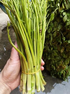 江西省景德镇市乐平市玉芽芹菜 45~50cm 0.5斤以下 露天种植