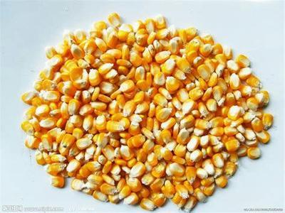 天津滨海新区爆裂玉米 净货 水份14%-16%