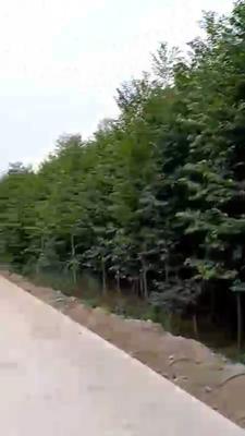 福建省漳州市云霄县土沉香