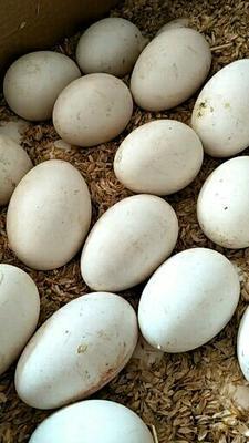 河北省唐山市丰润区鲜鹅蛋 食用 散装