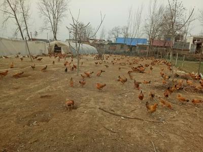这是一张关于柴鸡 2-3斤 统货 的产品图片