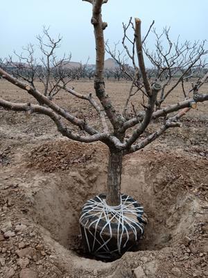 这是一张关于大金星山楂树 的产品图片