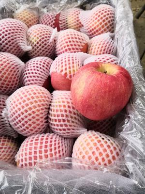 河北省石家庄市晋州市寒富苹果 80mm以上 全红 纸袋