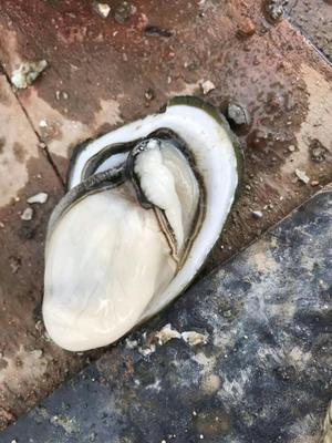 广东省湛江市麻章区生蚝