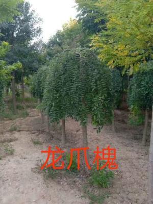 山东省菏泽市郓城县原生国槐