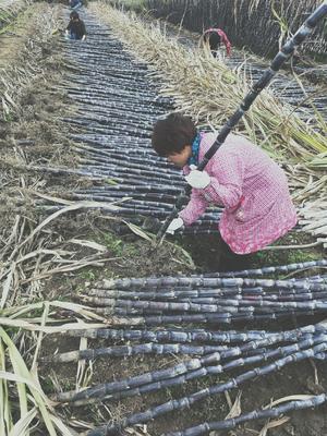 广西壮族自治区柳州市柳江县黑皮甘蔗 6 - 8cm 1.5 - 2m