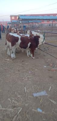 吉林省四平市公主岭市西门塔尔牛 400-600斤 公牛
