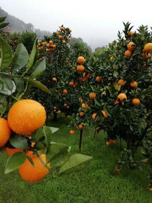 这是一张关于蜜香橙 65 - 70mm 4-8两 的产品图片