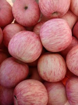 江苏省徐州市丰县红富士苹果 75mm以下 统货 膜袋