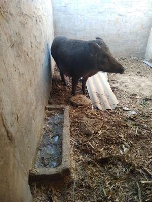 山东省济南市天桥区特种野猪 统货 30-40斤