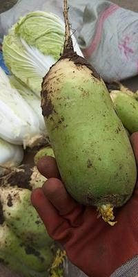 河南省南阳市镇平县青萝卜 1.5~2斤
