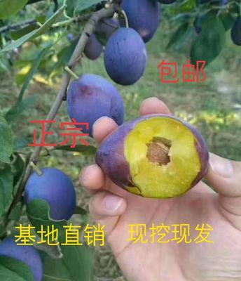 山东省临沂市平邑县西梅苗