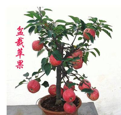 山东省临沂市平邑县红肉苹果树苗 0.5米以下