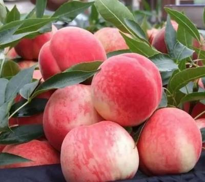 这是一张关于水蜜桃 45mm以上 3 - 4两 的产品图片