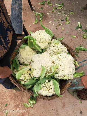 四川省遂宁市船山区闵都65散花椰菜 适中 2~3斤
