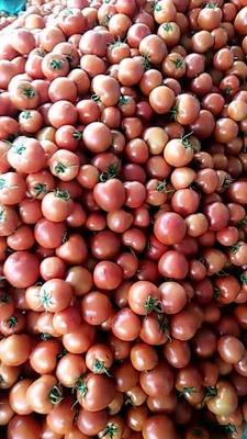 山东省临沂市沂水县大红西红柿 通货 弧三以上 大红