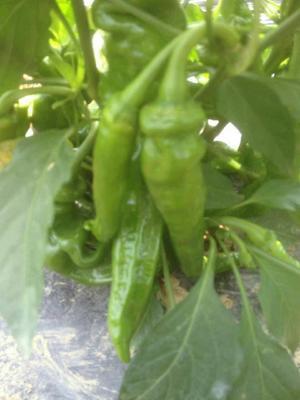 这是一张关于L3F1辣椒 5~10cm 中辣 靑色 的产品图片