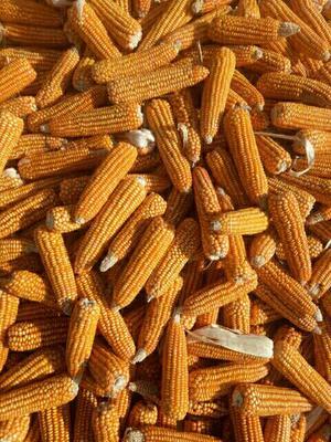 内蒙古自治区包头市达尔罕茂明安联合旗玉米干粮 杂质很少 水份<14%