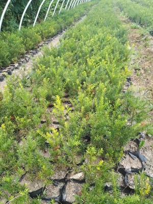 吉林省通化市柳河县东北红豆杉 0.5米以下