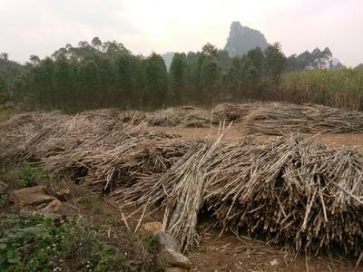 广西壮族自治区贵港市港北区糖蔗 3 - 4cm 2 - 2.5m