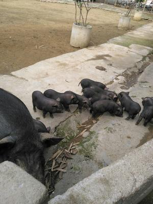 广西壮族自治区柳州市鱼峰区环江香猪 80斤以上