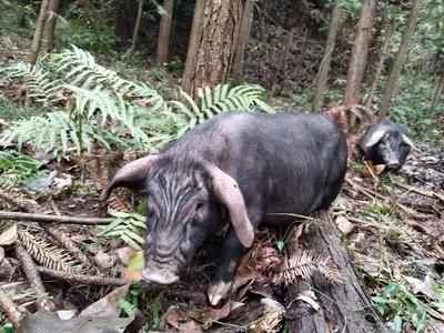 湖南省怀化市通道侗族自治县从江香猪 60斤以上