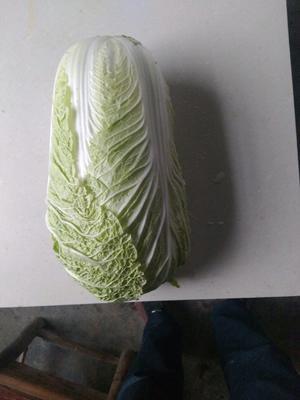 湖南省岳阳市君山区黄心大白菜 3~6斤 净菜